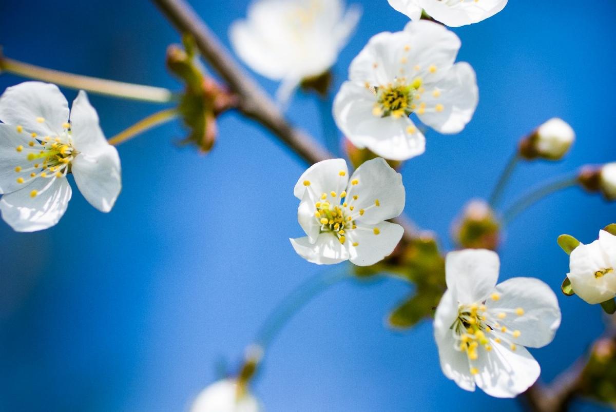 "Poster ""apple blossom"""