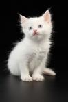 """Poster """"weißes Kätzchen 1"""""""