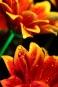 "Poster ""Blume 5"""