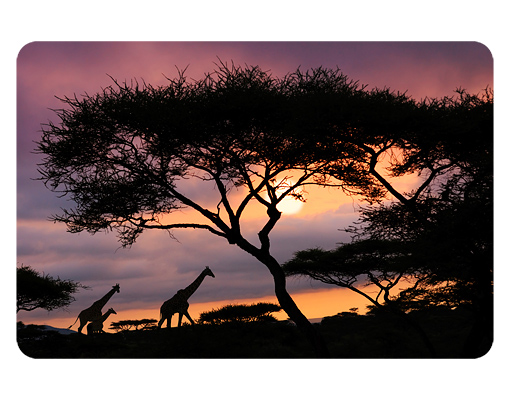Mehrteilige Bilder Kuche : Wallprint Safari in Afrika S  54cm x 36cm online bei Print It All
